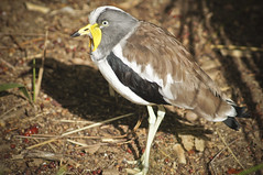Wattled Starling (larryn2009) Tags: california bird fall animal zoo sandiego unitedstatesofamerica september 2012 sandiegocounty wattledstarling creatophoracinerea sandiegosafaripark