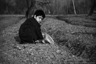Collecting Saffron in Kashmir