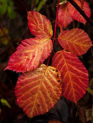 Fall Colors for Blackberry Vines (cooler than h2o) Tags: fall autumn leaves blackberry vine red fibonaccinumber five