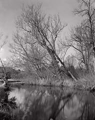 Derbyshire Wye - Flat Water Above Black Barn Weir (Regular Rod) Tags: blackandwhite sunlight tree water reflections river fishing derbyshire peakdistrict 8x10 flyfishing trout willows bakewell fomapan shenhao 510pyro ysplix rnbderbyshirewye derbyshirewye