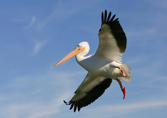 White Pelican (TexasEagle) Tags: pelicans dallas texas whiterocklake americanwhitepelican pelecanuserythrorhynchos