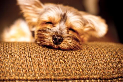 Fall nap | Penny | 11/2012 (i-seen-it RubenS) dog fall yorkie nap yorkshire penny yorkshireterrier | dogsdogsdogs 112012