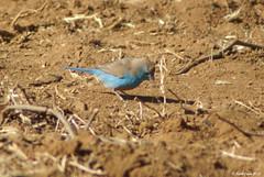 Blue-breasted Cordonbleu (Uraeginthus angolensis) (youngwarrior) Tags: bird southafrica bluewaxbill uraeginthusangolensis bluebreastedcordonbleu moruleng