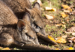 121118_3741 (John P Norton) Tags: sleeping fauna wallaby f63 shutterpriority 50500mm 11250sec canoneos5dmarkiii focallength450mm copyright2012johnnorton