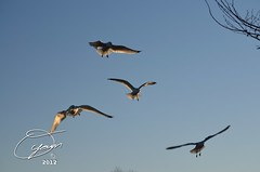 oyaMAM_20121114-164630 - Softglow in Flight 5 (MichaelAPMayo) Tags: nature birds photography riverhead oyamam oyamaleahcim
