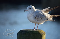 oyaMAM_20121114-163851 - Gull on Post at the End of Day (MichaelAPMayo) Tags: nature birds photography riverhead oyamam oyamaleahcim