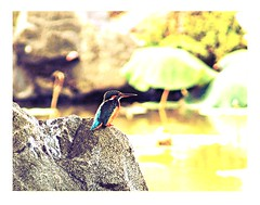 Common Kingfisher. (cpark188) Tags: bird wildlife picasa telephoto kingfisher chinesegarden len opteka 500mmf8 olympuse620