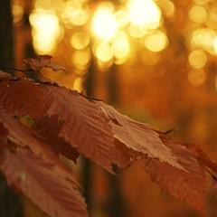 Give thanks for Bokeh!!!  HBW! (Andrea HdG) Tags: autumn fall leaves woods bokeh hbw happybokehwednesday playinginmybackyardabout30minutesbeforesunset