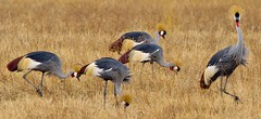 Ok....one more cos I like this. (shashin62) Tags: africa birds tanzania crane wildlife safari ngorongoro crater ngorongorocrater crownedcrane birdlife bestcapturesaoi elitegalleryaoi mygearandme mygearandmepremium