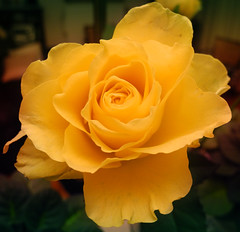 Have a nice weekend! (~~Nelly~~) Tags: rose yellow jaune roos geel redmatrix