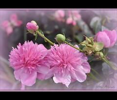 Dreaming Of Spring ~♥~ (ஐ ~❀ ~ Sharon ~❀~ ஐ) Tags: pink flowers petals spring dreaming passion wishing ♥ thegalaxy natureselegantshots mygearandme nikond3100