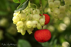 FRUTOS Y FLORES DEL MADROO / FRUITS AND FLOWERS OF ARBUTUS. (Jose Angel Rodriguez) Tags: rojo otoo arbutus madroo strawberrytree comestible fruitsandflowers sierradebaza parquenaturalsierradebaza joseangelrodriguez frutosyflores
