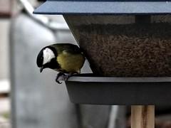 Free as a bird (pernillarydmark) Tags: freedom birdfeeder parusmajor talgoxe frihet fågelmatare fotosondag fs121125