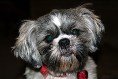 Daisy DSC_0663 (rdmsf) Tags: ohio dog baby thanks puppy fun kid play joy laugh daisy shitzu meridian rdmsf