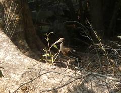 Red-naped Ibis. Pseudibis papillosa (gailhampshire) Tags: india birds