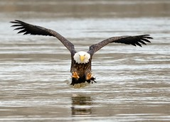"Down by the River ~ Bald Eagle, Conowingo Md. Explored 11/27/12! (Christine Fusco ~ ""Jersey Strong"") Tags: nature river md eagle ngc baldeagle maryland american conowingo tallons d7000 blinkagain bestofblinkwinners"