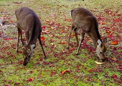 Miyajima Maple and Deer[Worldheritage] (h orihashi) Tags: japan shrine pentax hiroshima deer miyajima 日本 k5 itsukushima 広島 宮島 鹿 世界遺産 厳島 coth 日本三景 supershot wordheritage impressedbeauty flickraward crystalaward diamondclassphotographer flickrdiamond citrit hatsukaichishi therubyawards damniwishidtakenthat pentaxk5 ruby5 thesunshinegroup