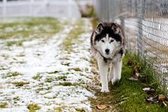 I walk the line (John Sieber) Tags: dogs montana siberianhusky dogportrait