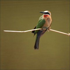 Bird on a wire (adour garonne) Tags: africa park bird nature southafrica aves ave oiseau naturepark limpopo afrique beeeater afriquedusud whitefrontedbeeeater meropsbullockoides mapungubwe gupier mapungubwenationalpark gupierfrontblanc