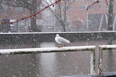Meeuw in de sneeuw Explore 185 (Olga and Peter) Tags: snow gull sneeuw meeuw diemen gimg3950