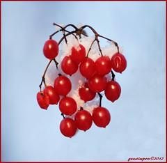 6dec12: geldersche roos. (guus timpers) Tags: winter blauw sneeuw ngc roos lucht rood winters rode weer bessen gelderse geldersche