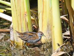 Baillon's Crake - Porzana pusilla DSC_4504 (Mary Bomford) Tags: bird australia waterbird canberra gruiformes rallidae baillonscrake porzanapusilla jerrabomberrawetlandsnaturereserve