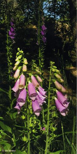 Photo - Foxglove Flowers