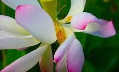 """Lotus (""""Gray""""scale2016) Tags: lotus kauai allenbotanicalgardens"""