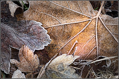 Frost (SFB579 :)) Tags: blue winter orange white cold color macro leaves leaf frost seasons pentax decay simga