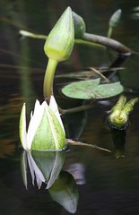 Innocence (eyriel) Tags: white reflection nature water waterlily lily buds bud lilypad