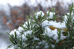 Under The Hood / Vienna, Austria (2012) (Stephan Rebernik) Tags: schnee winter plants snow nature closeup natur pflanzen bushes nahaufnahme busch schneebedeckt snowcovered strucher bsche snowcoveredplants plantscape schneebedecktepflanzen