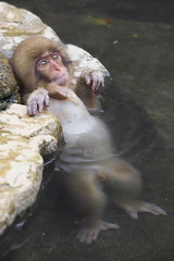 Relaxed in the hot spring (Masashi Mochida) Tags: snow japan monkey nagano jigokudani supershot specanimal
