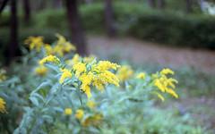 Yellow Flower (heliarkorea) Tags: flower slr 507 contaxrx planarlens dmparadise200film
