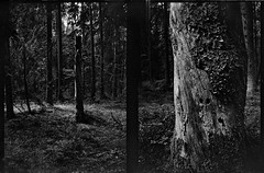 (Hasse Linden) Tags: tree film analog forest kodak trix agat18k expiredfilm pellicola halfframecamera