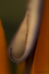 1 macro attempt (Zsuzsa Por) Tags: macro ef50mmf14usm lensreversingring canoneos7d canonistas nature plant