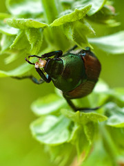 Japanese Beetle on Basil (alfredo_tomato) Tags: macro olympusem10 yashinondx50mm17 diopter extensiontube insects