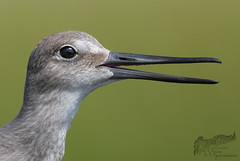 Young Willet 8_18 1 (krisinct- Thanks for 12 Million views!) Tags: nikon d500 500 f4 vrg