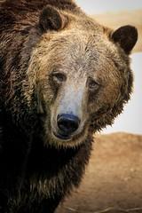 (dcollins1215) Tags: grizzlybear bear zoo sandiegozoo