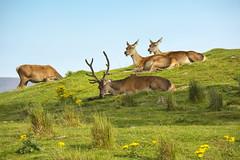 Red Deer (Margaret S.S) Tags: red deer stag hinds highland wildlife park