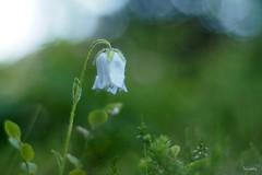 """Brtige"" Glockenblume - Campanula Barbara (wiebke-e) Tags: campanula glockenblume olympus em5 markii primoplan58 alpenblumen makro"
