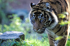 On The Prowl - Sumatran Tiger (peterjcoughlan) Tags: goldcollection