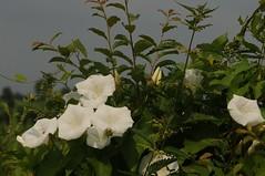 Echte Zaunwinde (Calystegia sepium); Bergenhusen, Stapelholm (Chironius) Tags: stapelholm bergenhusen schleswigholstein deutschland germany allemagne alemania germania    ogie pomie szlezwigholsztyn niemcy pomienie blte blossom flower fleur flor fiore blten    asterids campanuliids solanales nachtschattenartige convovulvaceae windengewchse weis