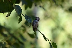 Hummingbird (careth@2012) Tags: bird nature hummingbird wildlife beak wings feathers