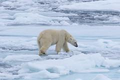 Sniffing around S24A2291 (grebberg) Tags: polarbear ursusmaritimus bear ursus environment ice seaice iceedge packice arcticocean svalbard