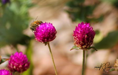 bee at home (rainirdaluzsanto) Tags: flower bee macro nature flor abelha natureza