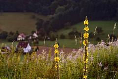 Morgens an der Hochburg (MH *) Tags: gras blten gelb grn farben colors sexau windenreute hochburg