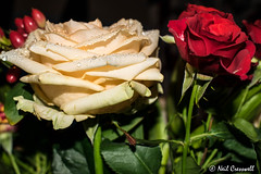 253/366 The Beauty Of A Rose (crezzy1976) Tags: nikon d3300 crezzy1976 photographybyneilcresswell photoaday rose flower indoors 365 366challenge2016 day253 floral beautiful