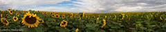 Sunflowers Forever (OJeffrey Photography) Tags: sunflowerfield sunflowers fieldofsunflowers sunflower pano panorama ojeffrey ojeffreyphotography jeffowens nikon d800