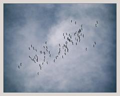 Le retour des oies (afantelin) Tags: oiseau bird oie goose ciel sky spring printemps yonne bourgogne burgundy