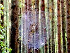 Gesponnen ... (Wunderlich, Olga) Tags: spinne spinnennetz rund rgen deutschland insel natur bume